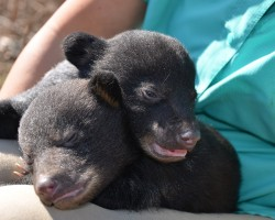 Louisiana Black Bear Could be Removed from the Endangered Species List