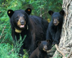 Louisiana Black Bear Removed from Endangered Species List